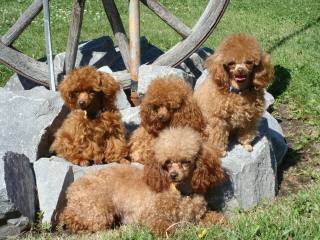 Happy Paws Poodle Home